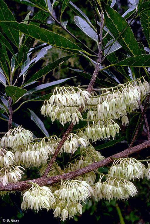 Elaeocarpus angustifolius Factsheet Elaeocarpus angustifolius
