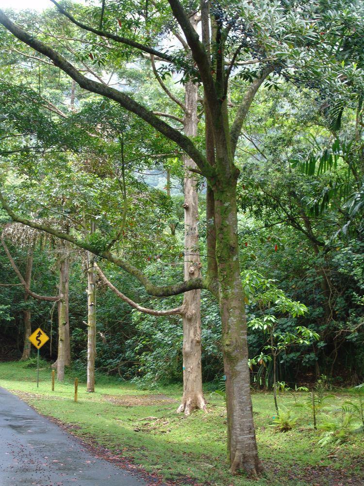 Elaeocarpus angustifolius Elaeocarpus angustifolius Images Useful Tropical Plants