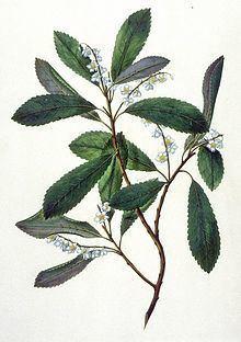 Elaeocarpus apiculatus httpsuploadwikimediaorgwikipediacommonsthu