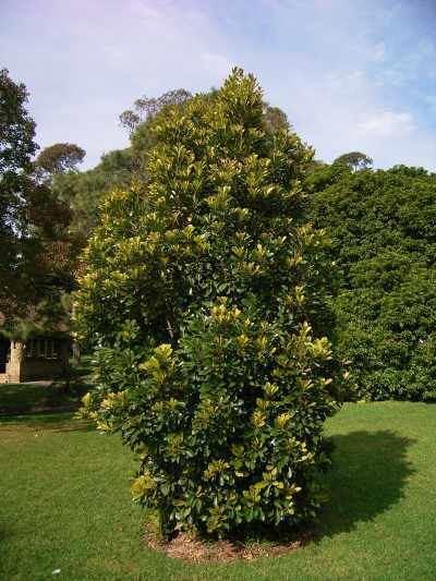 Elaeocarpus bancroftii wwwfloragreatlakesinforfsimagesbancroftii1jpg
