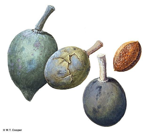 Elaeocarpus bancroftii Factsheet Elaeocarpus bancroftii