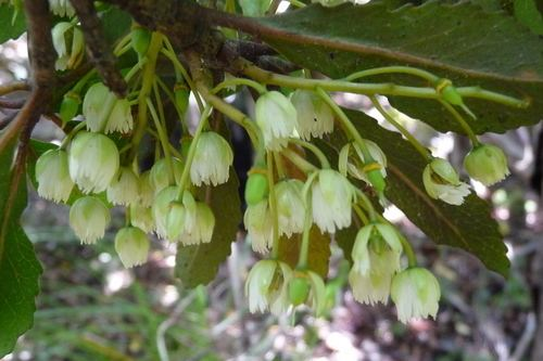 Elaeocarpus hookerianus Pokaka Elaeocarpus hookerianus NatureWatch NZ