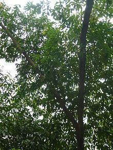 Elaeocarpus lanceifolius httpsuploadwikimediaorgwikipediacommonsthu