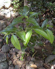 Elaeodendron melanocarpum httpsuploadwikimediaorgwikipediacommonsthu
