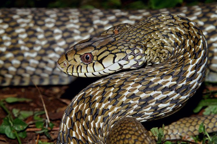 Elaphe carinata King Ratsnake Elaphe carinata Found in Baling Taiwa