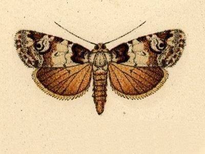 Elaphria basistigma