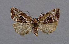 Elaphria venustula httpsuploadwikimediaorgwikipediacommonsthu
