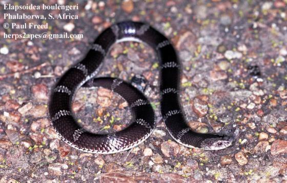 Elapsoidea Elapsoidea boulengeri The Reptile Database