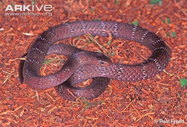 Elapsoidea Usambara garter snake videos photos and facts Elapsoidea nigra