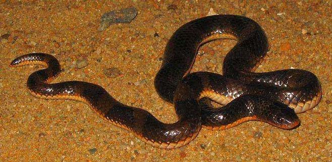 Elapsoidea Elapsoidea sundevalli Sundevall39s garter snake