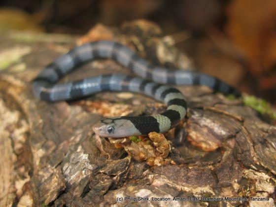 Elapsoidea Elapsoidea nigra The Reptile Database