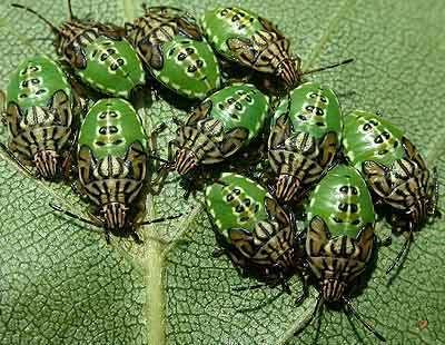 Elasmucha Acanthosomatidae Elasmucha grisea Parent Bug