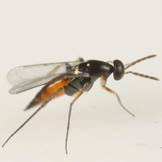 Elasmus Parasitoid of Phyllonorycter viburnella Elasmus BugGuideNet