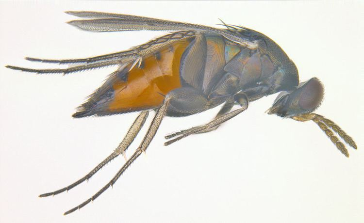 Elasmus Featured insects