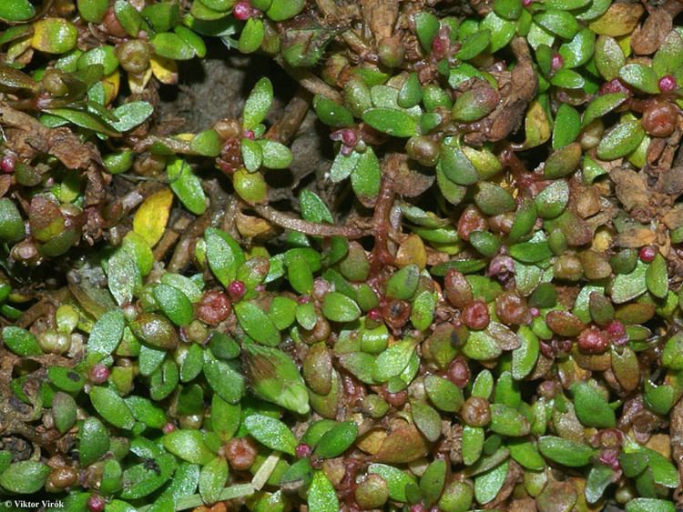 Elatine Elatine triandra Eurasian waterwort Go Botany
