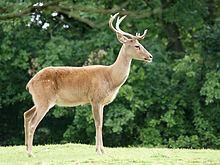 Eld's deer Eld39s deer Wikipedia
