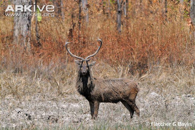 Eld's deer Eld39s deer photo Rucervus eldii G119252 ARKive