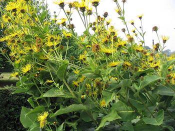 Elecampane Elecampane Medicinal Herb Info