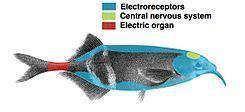 Electric fish Electric fish Wikipedia