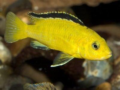 Electric yellow cichlid secondnatureaquariumscomauwpcontentuploadsla