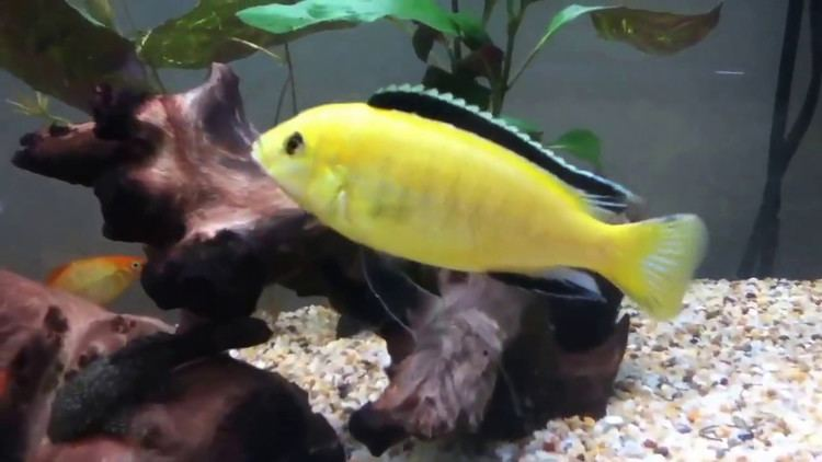 Electric yellow cichlid Electric yellow lab cichlids YouTube