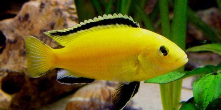 Electric yellow cichlid Electric Yellow Lab Labidochromis Caeruleus