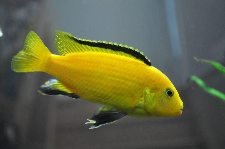 Electric yellow cichlid Labidochromis Caeruleus Electric Yellow Cichlid Aquarium Finatics