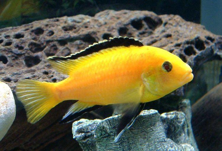 Electric yellow cichlid Electric Yellow Cichlid labidochromis caeruleus Photos