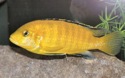 Electric yellow cichlid Electric Yellow Cichlid Labidochromis caeruleus Yellow Lab Fish Guide