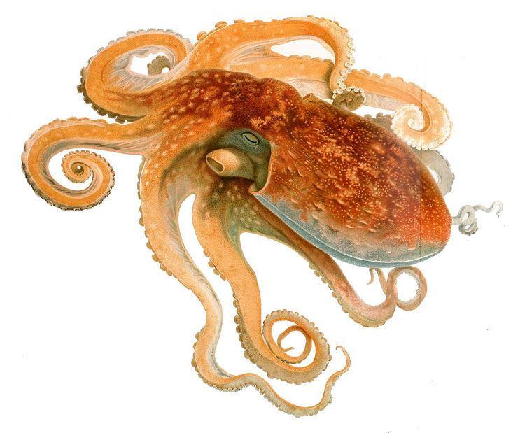 Eledone Curled octopus Wikipedia