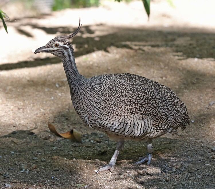 Elegant crested tinamou Pictures and information on Elegant Crested Tinamou
