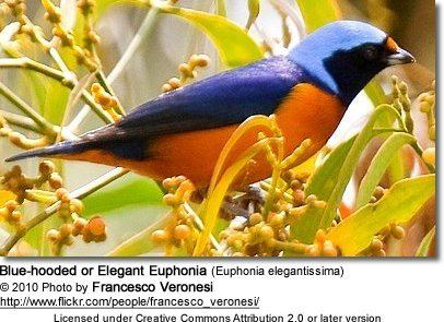 Elegant euphonia Bluehooded or Elegant Euphonias Euphonia elegantissima