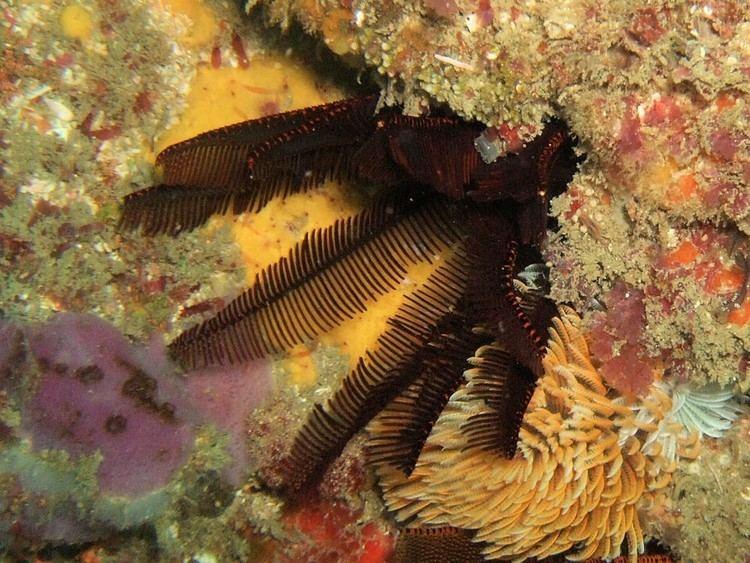 Elegant feather star wwweasterncapescubadivingcozaimageslargeDSC