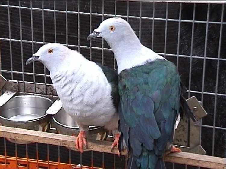 Elegant imperial pigeon wwwinternationaldovesocietycomFruitPicsDucula