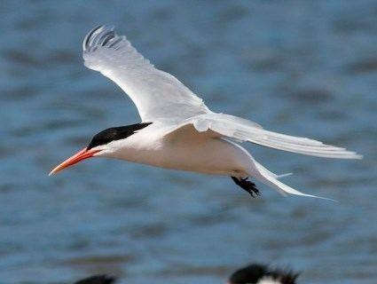 Elegant tern httpswwwallaboutbirdsorgguidePHOTOLARGEel