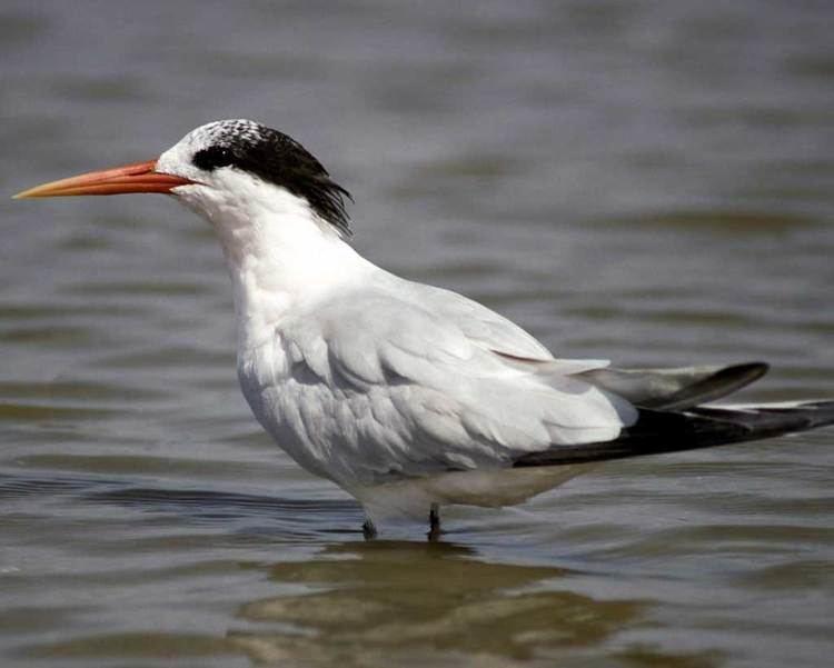 Elegant tern Elegant Tern Audubon Field Guide