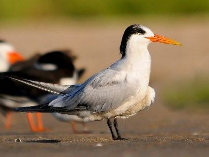 Elegant tern Elegant Tern Identification All About Birds Cornell Lab of