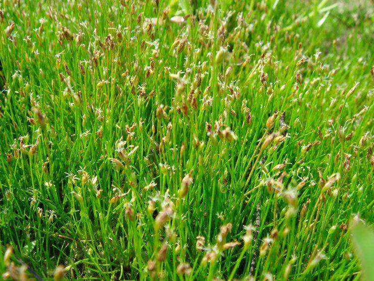 Eleocharis acicularis Plants amp Flowers Eleocharis acicularis