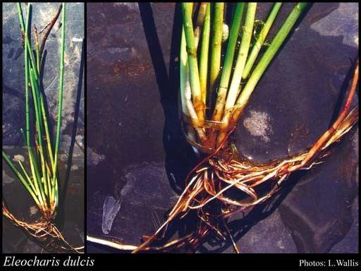 Eleocharis dulcis Eleocharis dulcis Burmf Henschel FloraBase Flora of Western