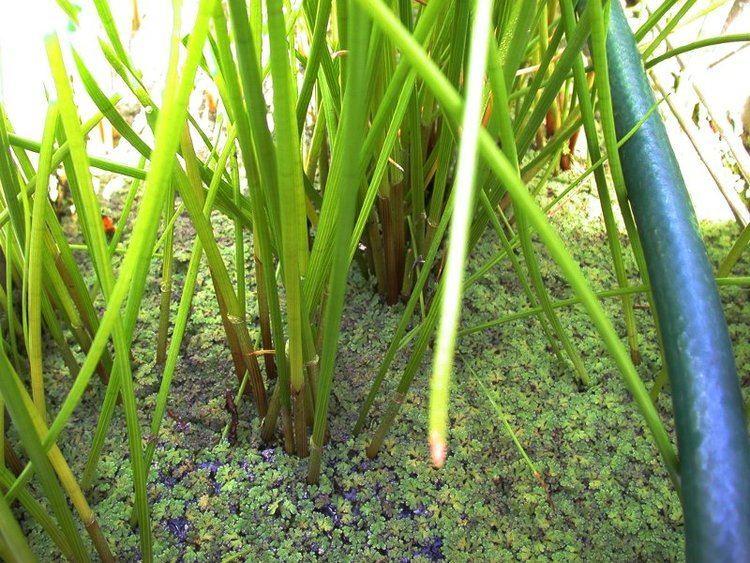 Eleocharis dulcis Eleocharis dulcis Images Useful Tropical Plants