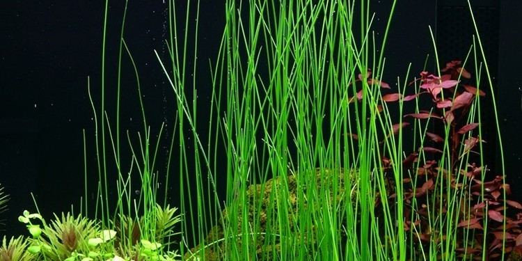 Eleocharis Eleocharis sp Tropica Aquarium Plants