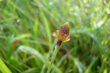 Eleocharis geniculata Eleocharis geniculata