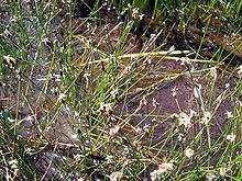 Eleocharis pachycarpa httpsuploadwikimediaorgwikipediacommonsthu