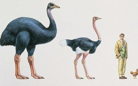 Elephant bird We NEED to clone the Elephant Bird and here39s why This very large