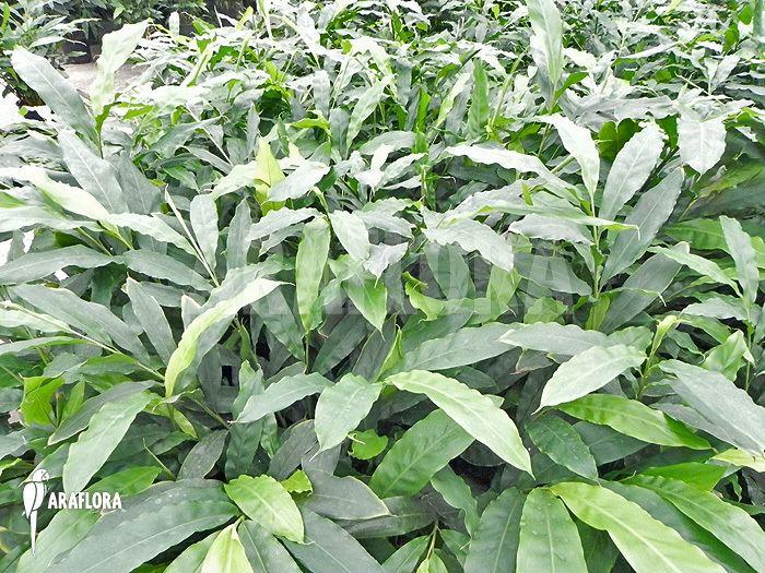Elettaria wwwarafloracomimagedataElettariacardamomum