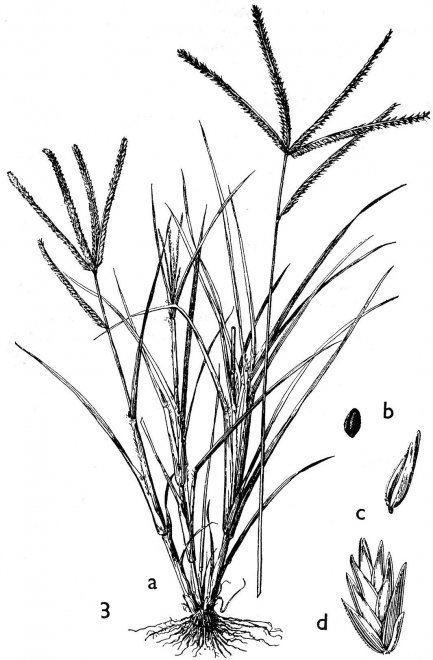 Eleusine indica Eleusine indica L Laboratory Guide To Archaeological Plant