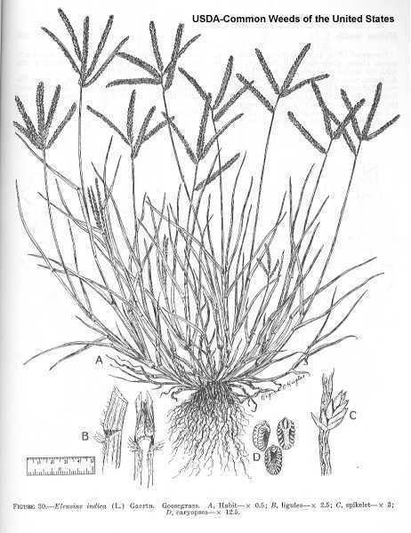 Eleusine indica Online Virtual Flora of Wisconsin Eleusine indica
