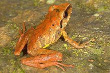 Eleutherodactylidae httpsuploadwikimediaorgwikipediacommonsthu