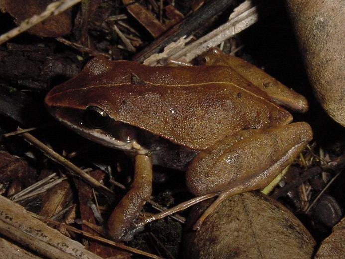 Eleutherodactylus dimidiatus