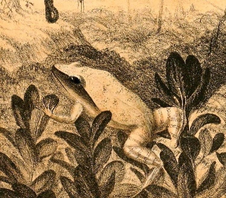 Eleutherodactylus luteolus